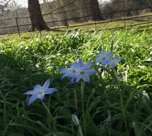 Ipheion. Theprettiest little flowers to grow at the foot of a tree