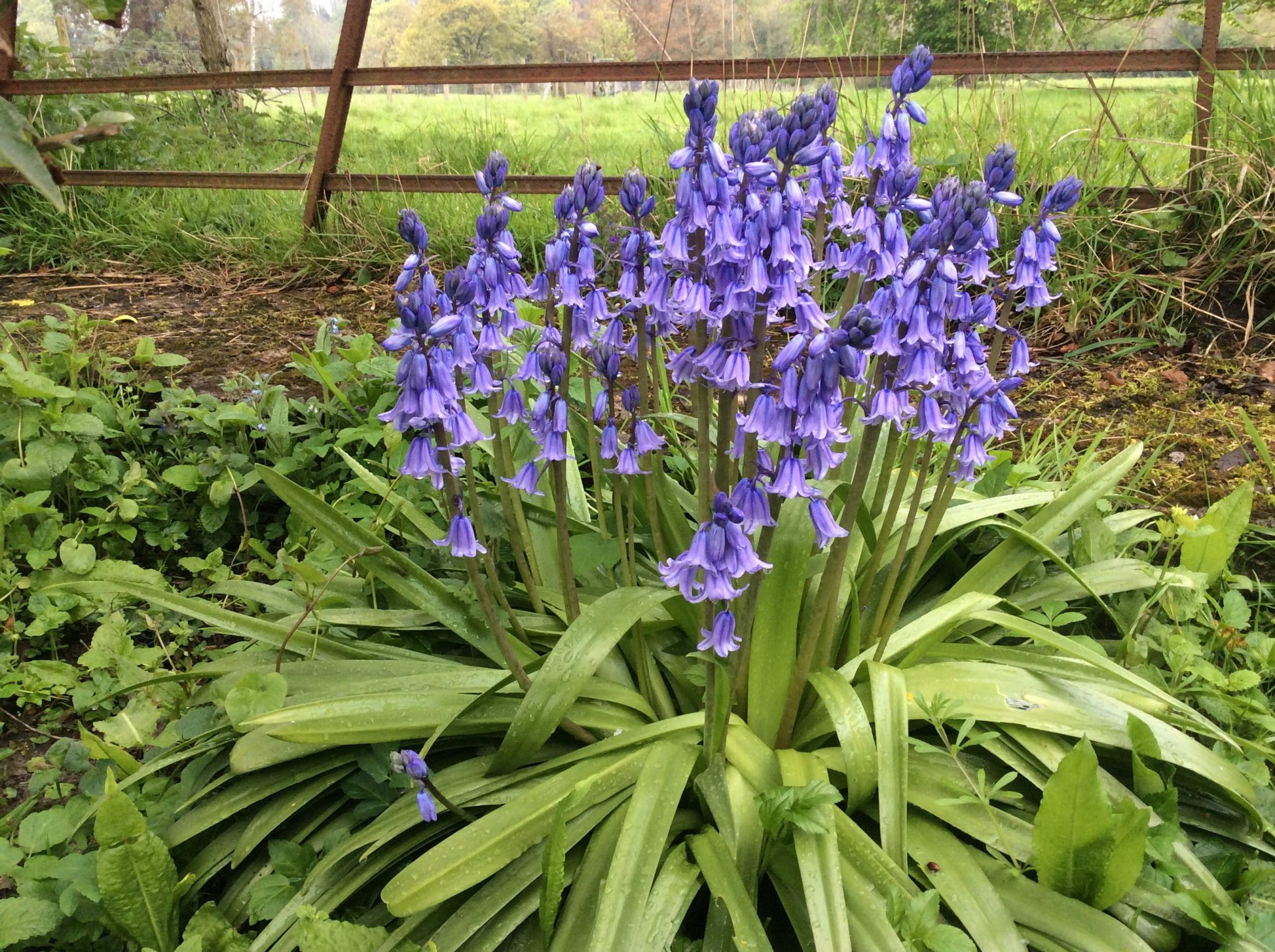 Are your Bluebells delicate English or Spanish thugs