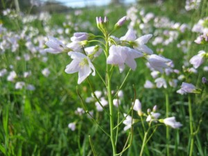 Cardamine pratensis.  It is here in abundance this spring. Have you got it near you?
