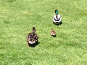 The ducks