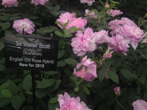 Rosa 'Sir Walter Scott'